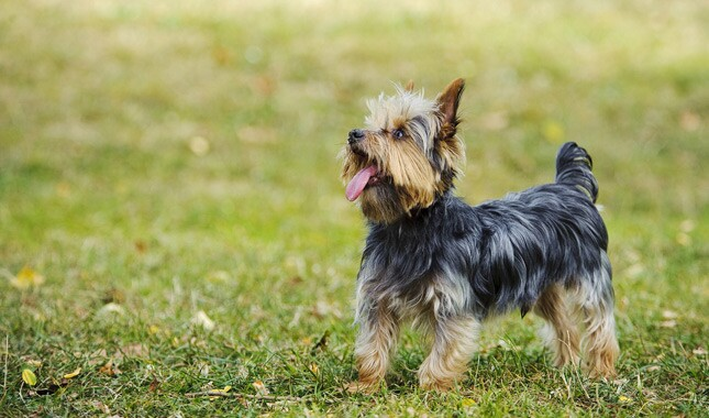 Yorkshire Terrier Outdoors Side View