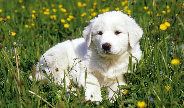 Anatolian Shepherd puppy
