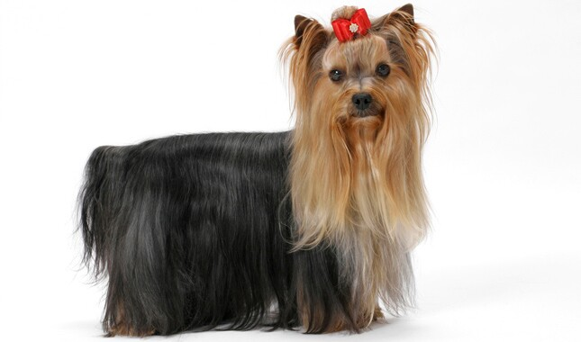 Groomed Yorkshire Terrier wearing bow