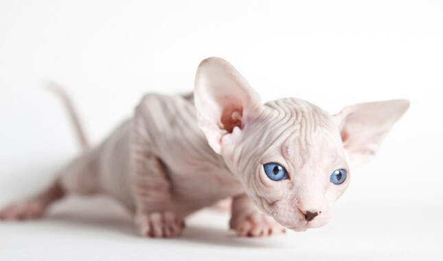 Sphynx Kitten About to Pounce