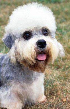 Dandie Dinmont Terrier Dog Breed