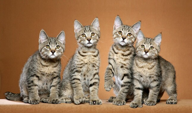 Four Shorthaired Pixiebob Cats