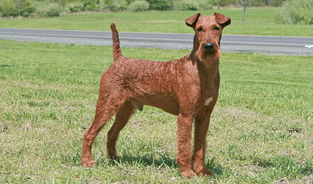 irish terrier breed information