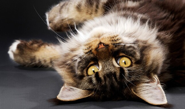 Maine Coon Upside Down