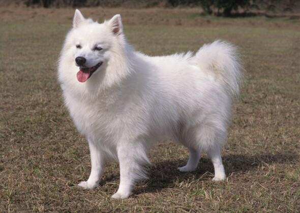 11 Truly American Dog Breeds