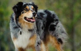 Australian Shepherd Smiling Outdoors