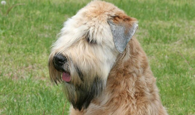 Soft Coated Wheaten Terrier Dog Breed