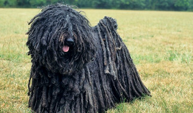Puli Breed Information
