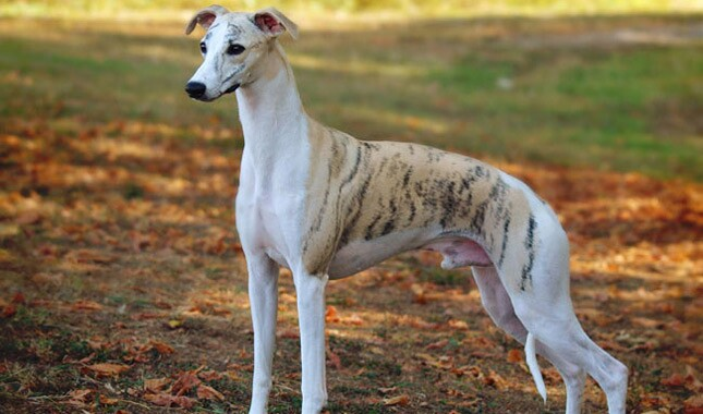 Whippet Dog Breed Information