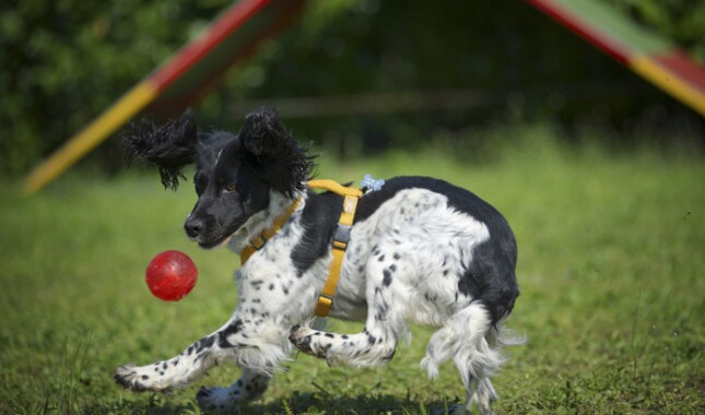 English Springer Spaniel playing with a red ball