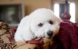 Bichon Frise on a couch