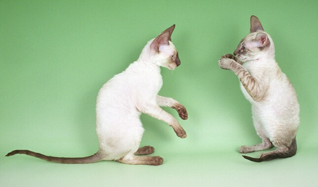 Two Cornish Rex Cats Playing