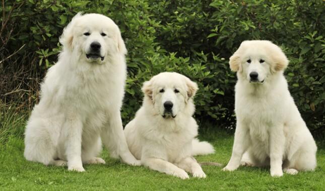 三只比利牛斯大狗坐在一起