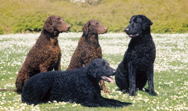 Four Curly Coated Retriever dogs