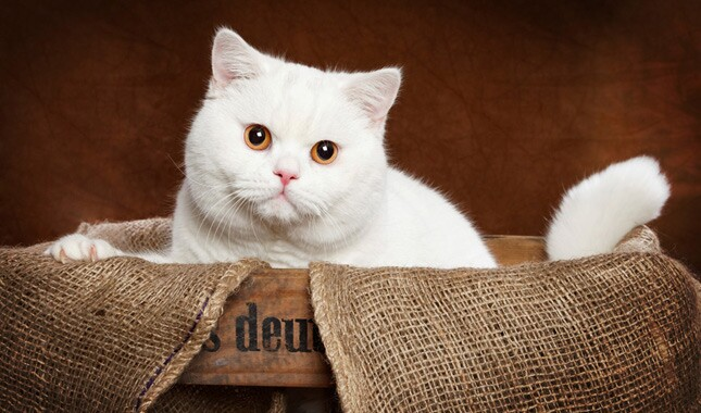 White British Shorthair Looking at Camera