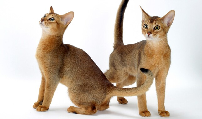 Two Abyssinian Cats
