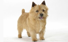 Norwich Terrier in a studio