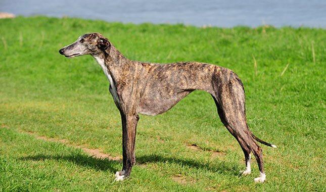 Galgo Espanol Dog Breed