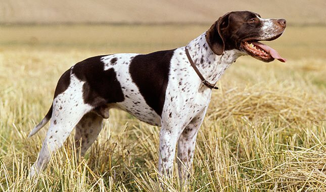 How To Train A Pointer Dog