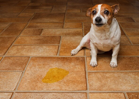 Dog pee accident