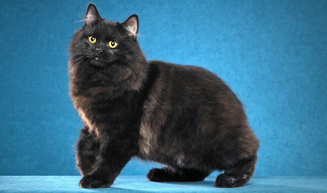 Black Cymric Cat