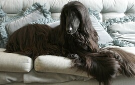 Afghan Hound lounging on a sofa