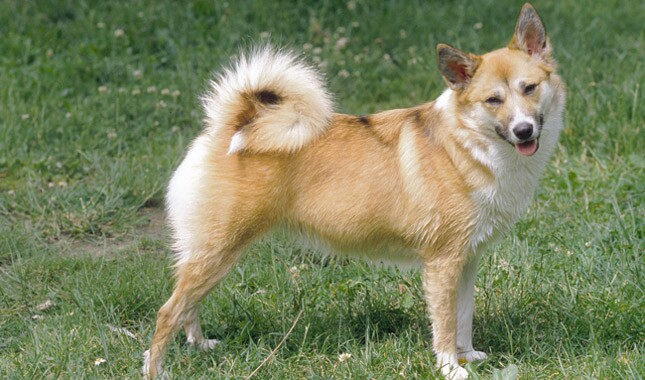 Icelandic Sheepdog dog breed