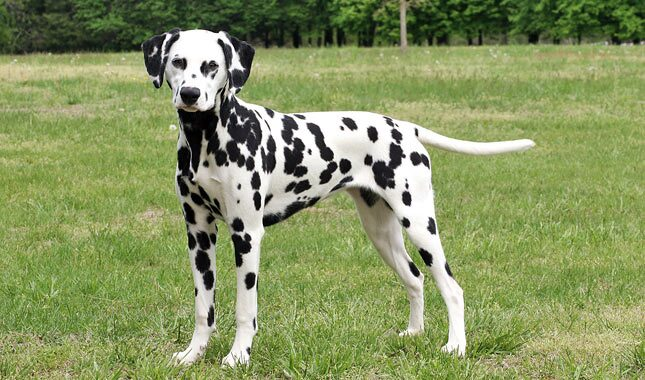Dalmatian Breed Information