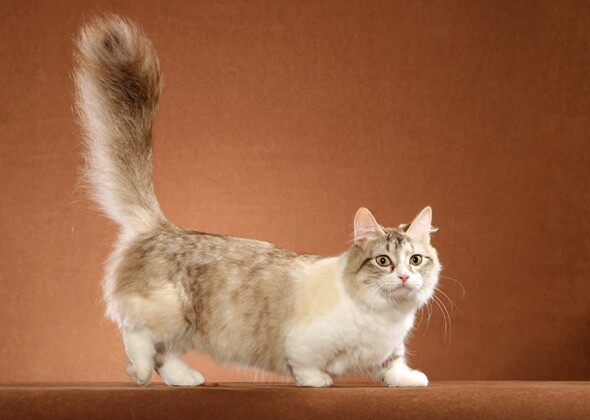 11 Cat Breeds With Funny Names Like Ragamuffin and Pixiebob