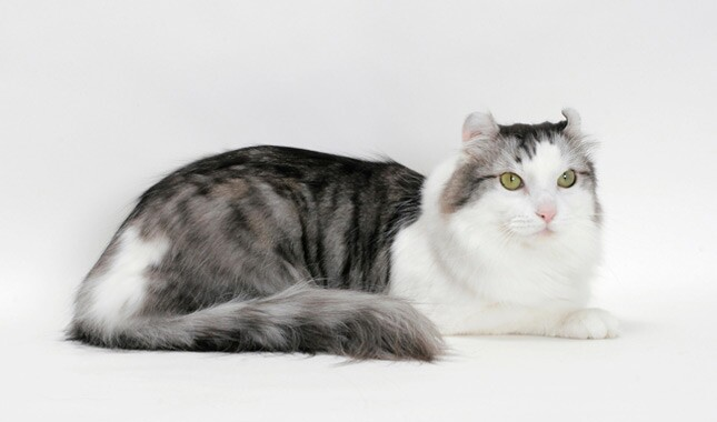 American Curl cat gray and white