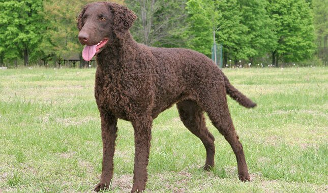 Curly Coated Retriever dog