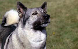 Norwegian Elkhound Dog Breed