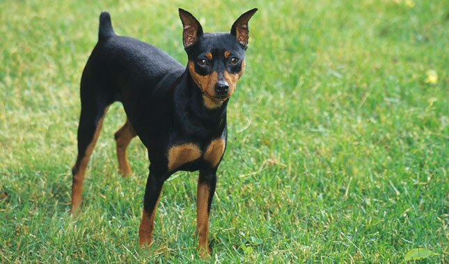 Top 10 Cheapest Dog Breeds: Miniature Pinscher