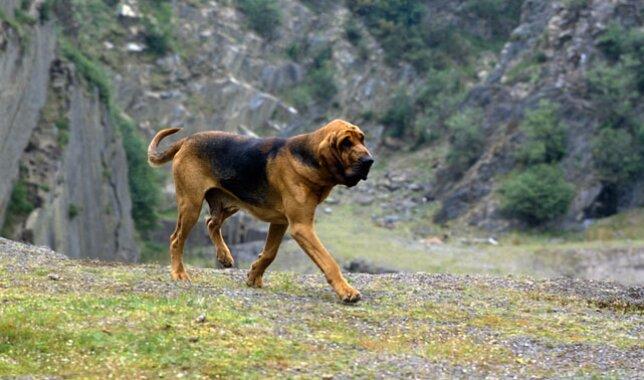 Bloodhound dog breed on a hike