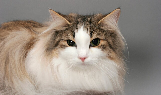 Norwegian Forest Cat close up