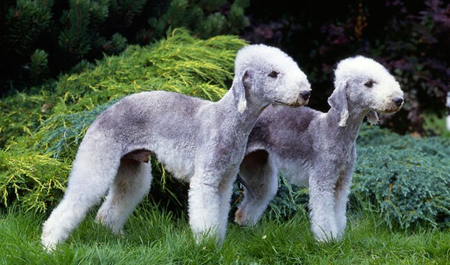 Bedlington Terrier dogs