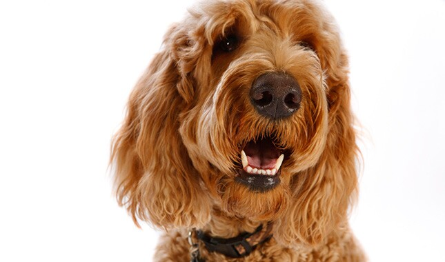 Goldendoodle dog face