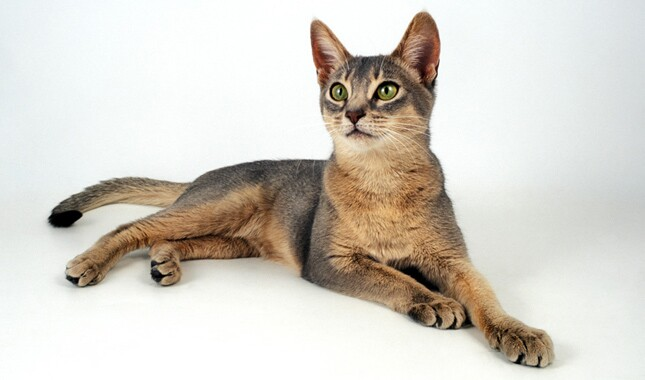 Blue Abyssinian Laying Down