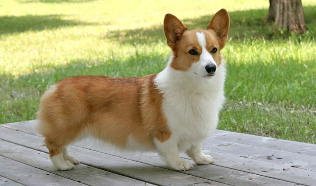 Image result for corgi