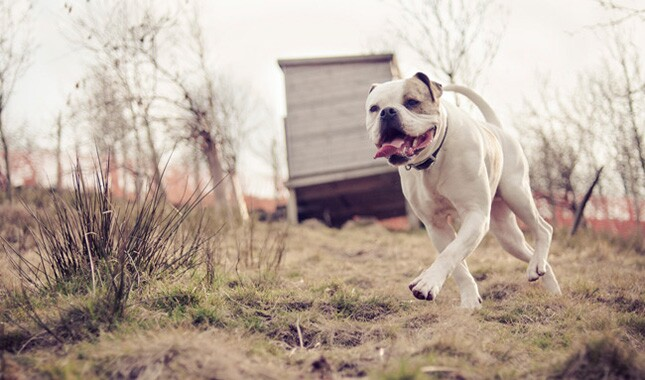 American Bulldog Running in Grass