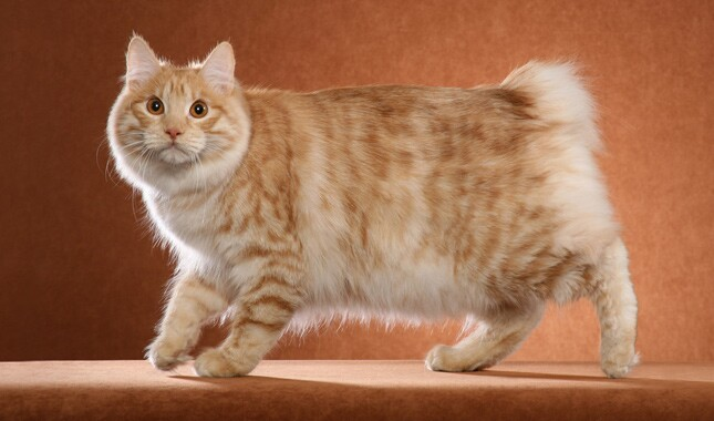 American Bobtail Cat For Adoption
