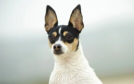 Closeup of Toy Fox Terrier dog breed