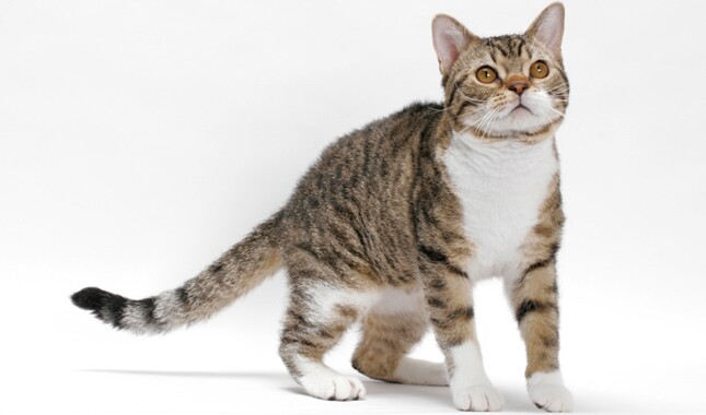 American Wirehair Brown Mackerel Tabby and White