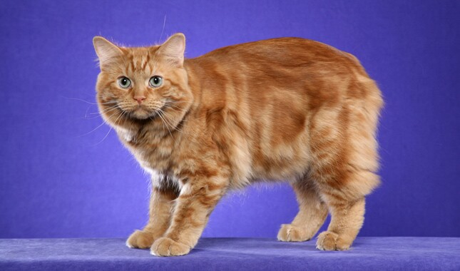 Cymric Cat on Purple Background