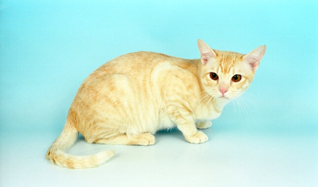 Cream Silver Shaded Burmilla Cat