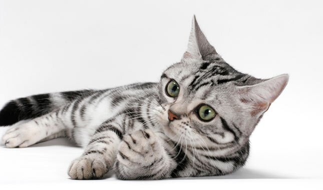 American Shorthair cat laying down