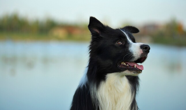 Border Collie By Water