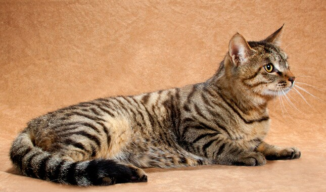 Li Hua Cat Breed Information