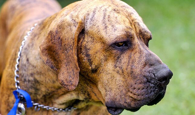 Fila Brasilieiro dog