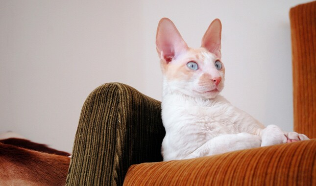 White Cornish Rex on Couch